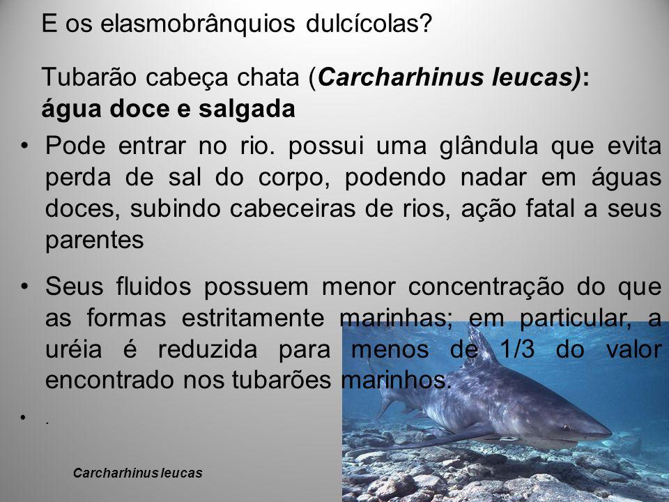 E os elasmobrânquios dulcícolas? Tubarão cabeça chata (Carcharhinus leucas): água doce e salgada Carcharhinus leucas Pode entrar no rio. possui uma gl