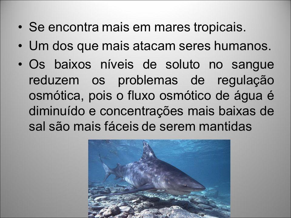 Se encontra mais em mares tropicais.Um dos que mais atacam seres humanos.