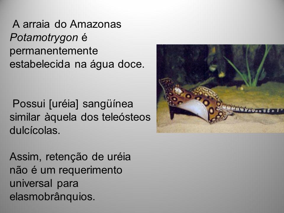 A arraia do Amazonas Potamotrygon é permanentemente estabelecida na água doce. Possui [uréia] sangüínea similar àquela dos teleósteos dulcícolas. Assi