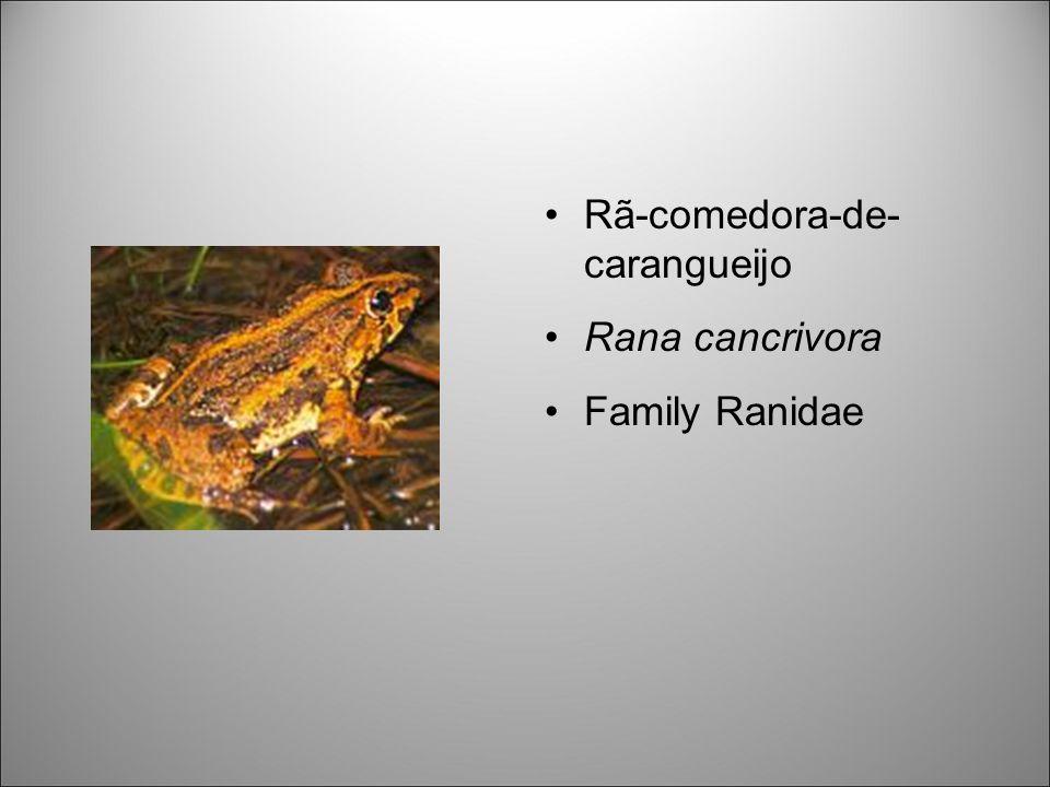 Rã-comedora-de- carangueijo Rana cancrivora Family Ranidae