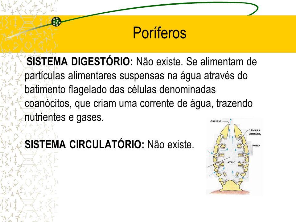 Poríferos SISTEMA DIGESTÓRIO: Não existe. Se alimentam de partículas alimentares suspensas na água através do batimento flagelado das células denomina