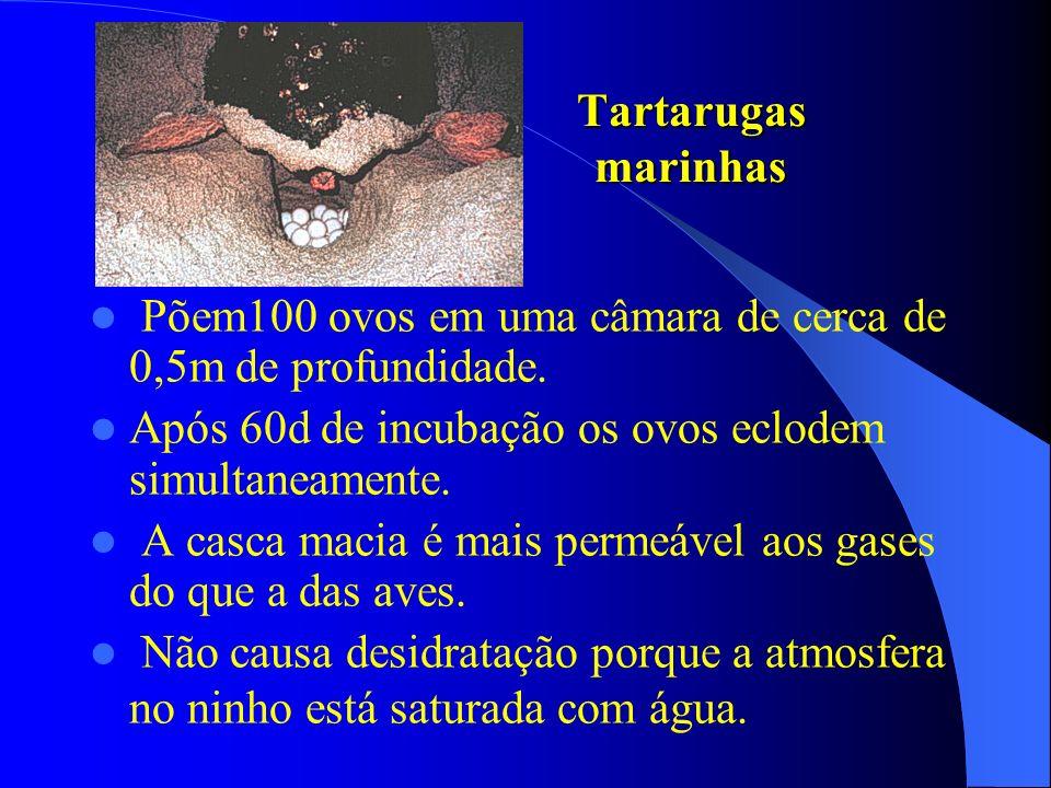 Tartarugas marinhas Põem100 ovos em uma câmara de cerca de 0,5m de profundidade. Após 60d de incubação os ovos eclodem simultaneamente. A casca macia