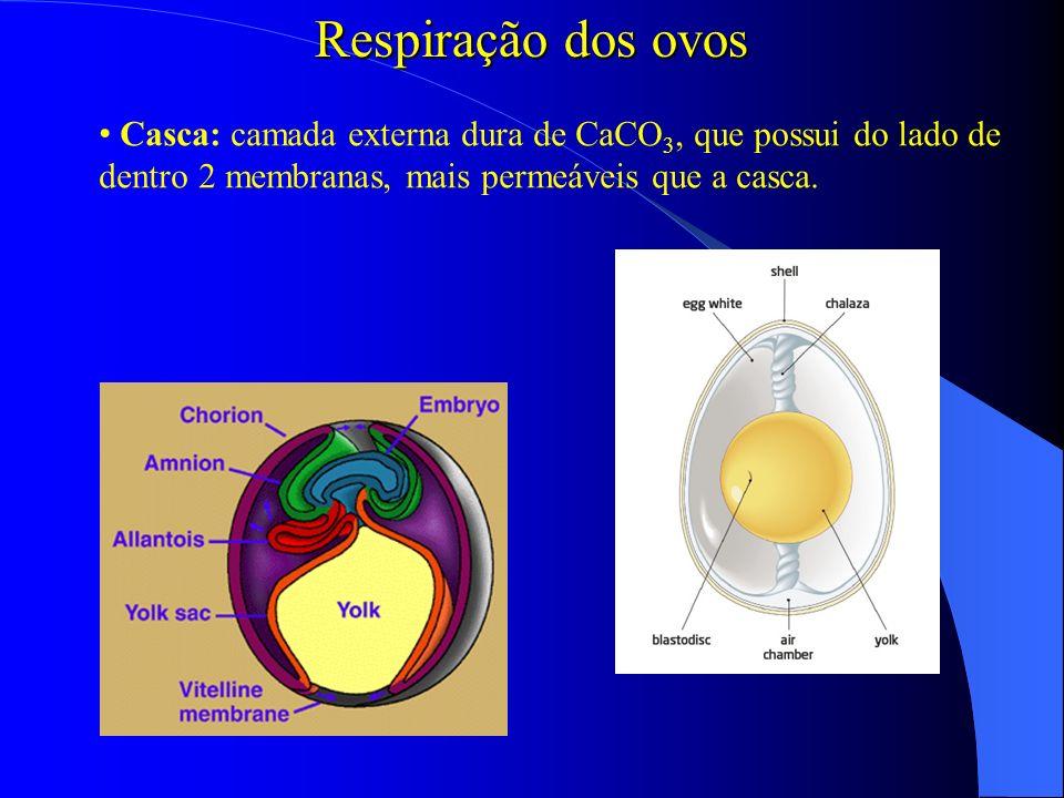 Respiração dos ovos Casca: camada externa dura de CaCO 3, que possui do lado de dentro 2 membranas, mais permeáveis que a casca.