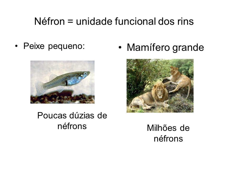 Néfron = unidade funcional dos rins Peixe pequeno: Mamífero grande Poucas dúzias de néfrons Milhões de néfrons