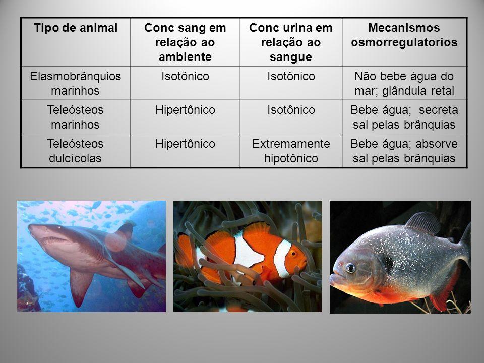 Tipo de animalConc sang em relação ao ambiente Conc urina em relação ao sangue Mecanismos osmorregulatorios Elasmobrânquios marinhos Isotônico Não beb