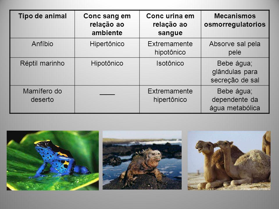 Tipo de animalConc sang em relação ao ambiente Conc urina em relação ao sangue Mecanismos osmorregulatorios AnfíbioHipertônicoExtremamente hipotônico