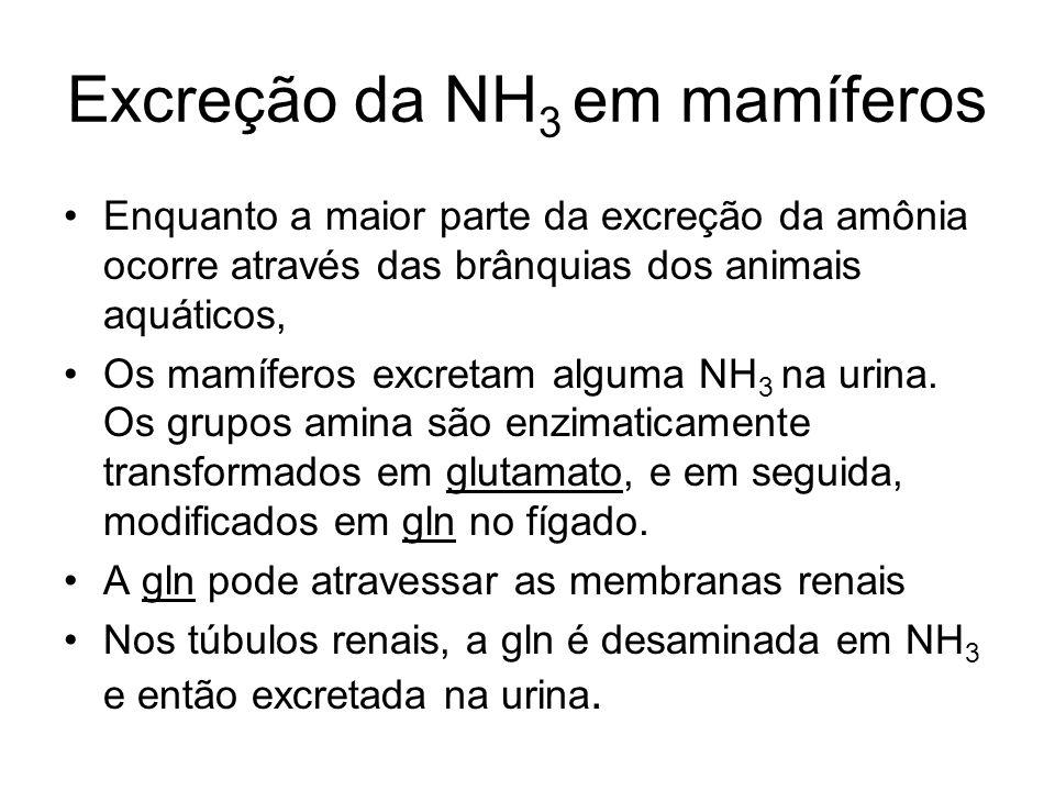 Excreção da NH 3 em mamíferos Enquanto a maior parte da excreção da amônia ocorre através das brânquias dos animais aquáticos, Os mamíferos excretam a