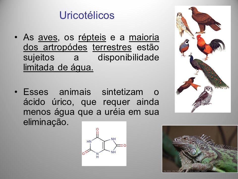 Uricotélicos As aves, os répteis e a maioria dos artropódes terrestres estão sujeitos a disponibilidade limitada de água. Esses animais sintetizam o á