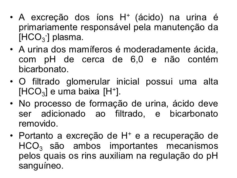 A excreção dos íons H + (ácido) na urina é primariamente responsável pela manutenção da [HCO 3 - ] plasma. A urina dos mamíferos é moderadamente ácida
