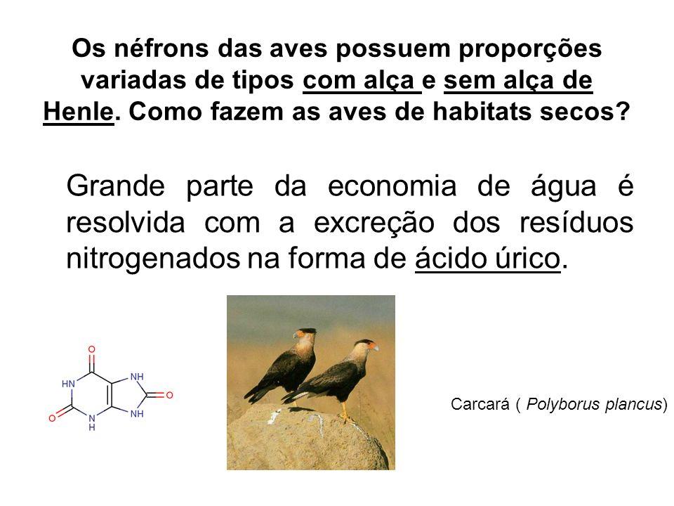 Os néfrons das aves possuem proporções variadas de tipos com alça e sem alça de Henle. Como fazem as aves de habitats secos? Grande parte da economia