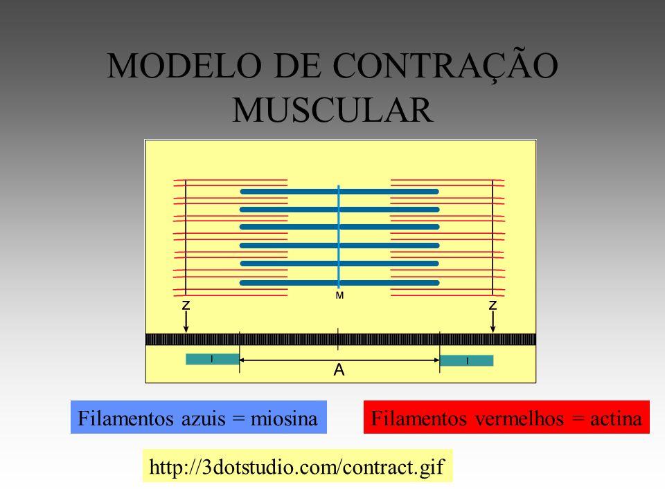 MODELO DE CONTRAÇÃO MUSCULAR Filamentos vermelhos = actinaFilamentos azuis = miosina http://3dotstudio.com/contract.gif