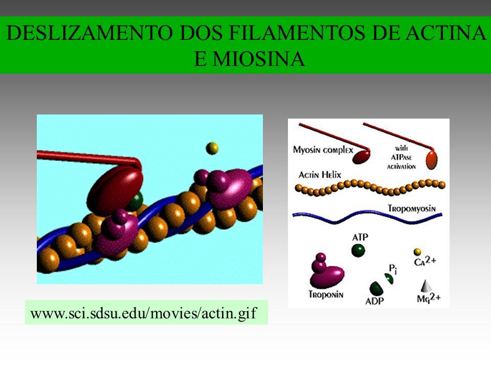 www.sci.sdsu.edu/movies/actin.gif DESLIZAMENTO DOS FILAMENTOS DE ACTINA E MIOSINA