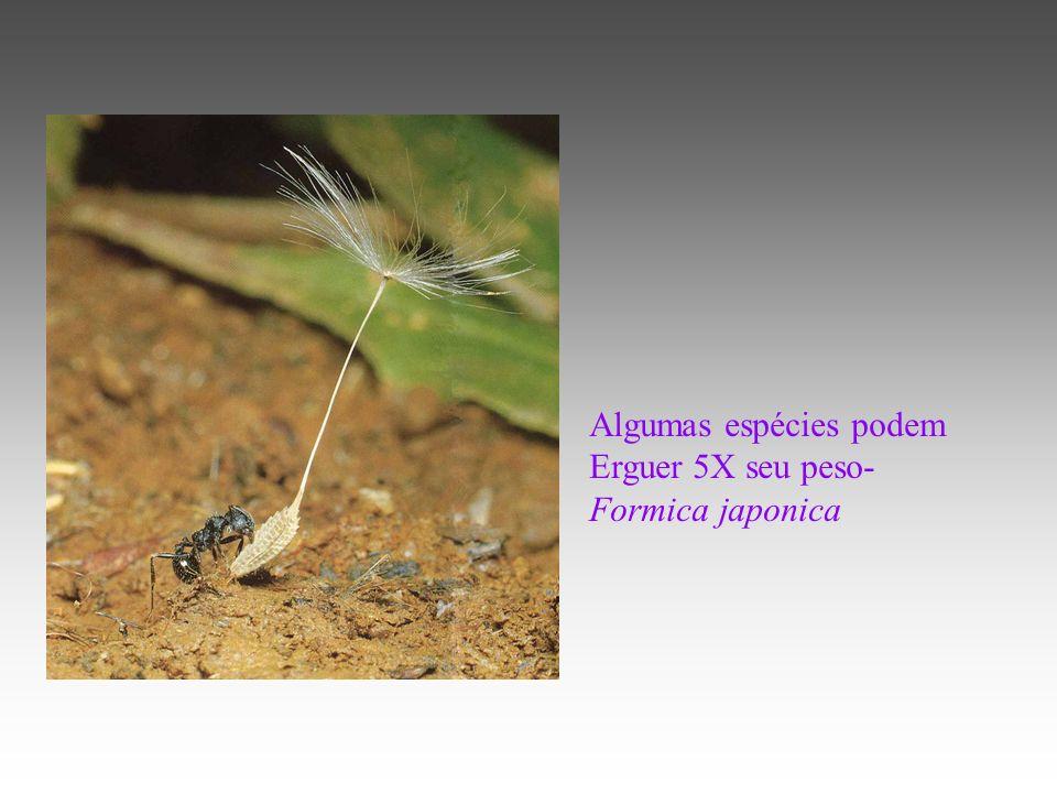 Algumas espécies podem Erguer 5X seu peso- Formica japonica