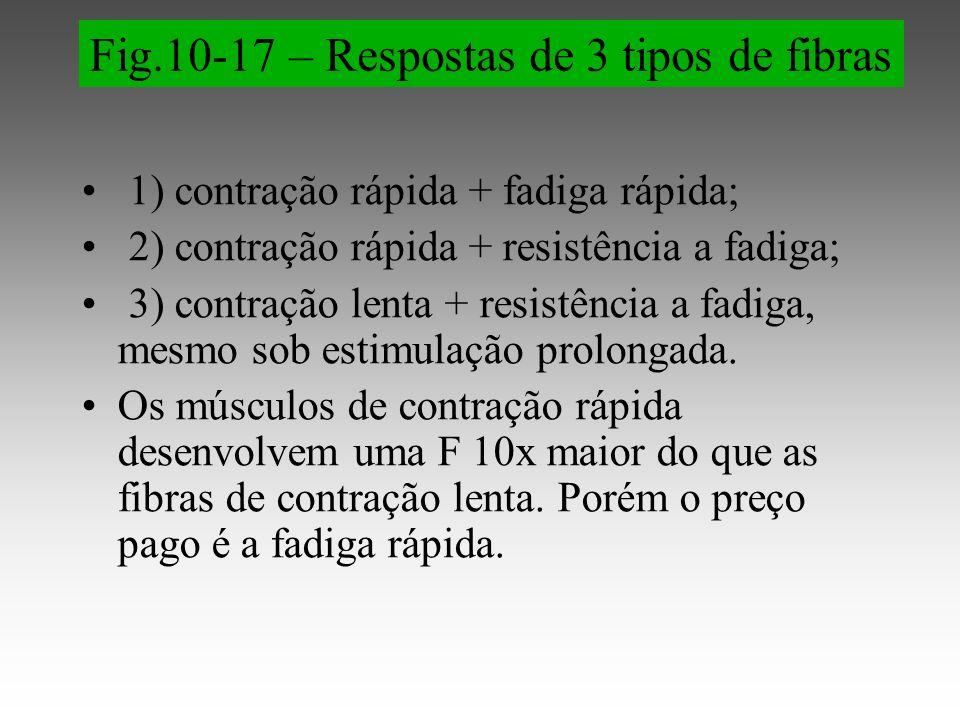 1) contração rápida + fadiga rápida; 2) contração rápida + resistência a fadiga; 3) contração lenta + resistência a fadiga, mesmo sob estimulação prolongada.