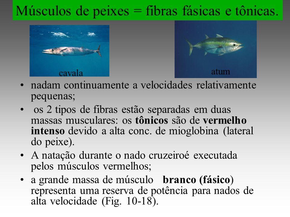 nadam continuamente a velocidades relativamente pequenas; os 2 tipos de fibras estão separadas em duas massas musculares: os tônicos são de vermelho intenso devido a alta conc.