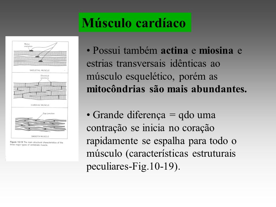 Músculo cardíaco Possui também actina e miosina e estrias transversais idênticas ao músculo esquelético, porém as mitocôndrias são mais abundantes.