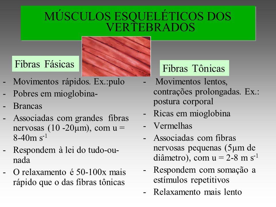 MÚSCULOS ESQUELÉTICOS DOS VERTEBRADOS -Movimentos rápidos.