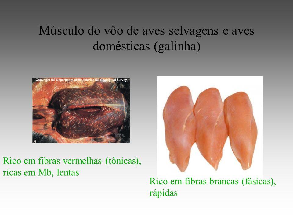 Músculo do vôo de aves selvagens e aves domésticas (galinha) Rico em fibras vermelhas (tônicas), ricas em Mb, lentas Rico em fibras brancas (fásicas), rápidas