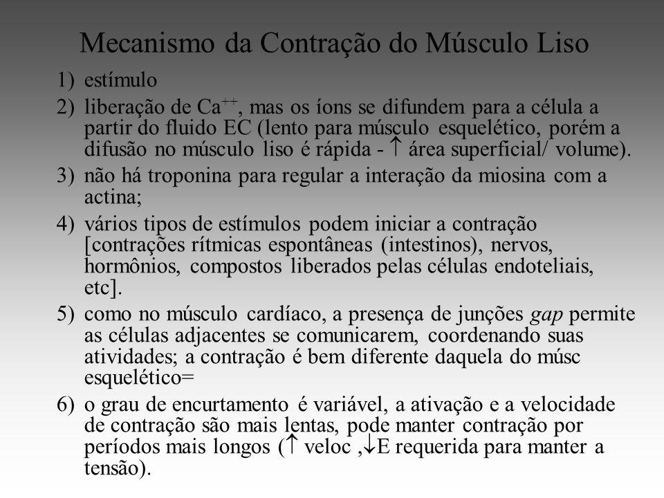 Mecanismo da Contração do Músculo Liso 1)estímulo 2)liberação de Ca ++, mas os íons se difundem para a célula a partir do fluido EC (lento para músculo esquelético, porém a difusão no músculo liso é rápida - área superficial/ volume).