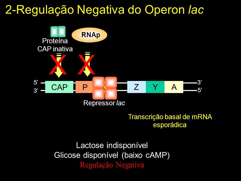 Lactose indisponível Glicose disponível (baixo cAMP) Regulação Negativa Proteína CAP inativa ZYA POCAP 5 5 3 3 RNAp XX Repressor lac Transcrição basal de mRNA esporádica 2-Regulação Negativa do Operon lac