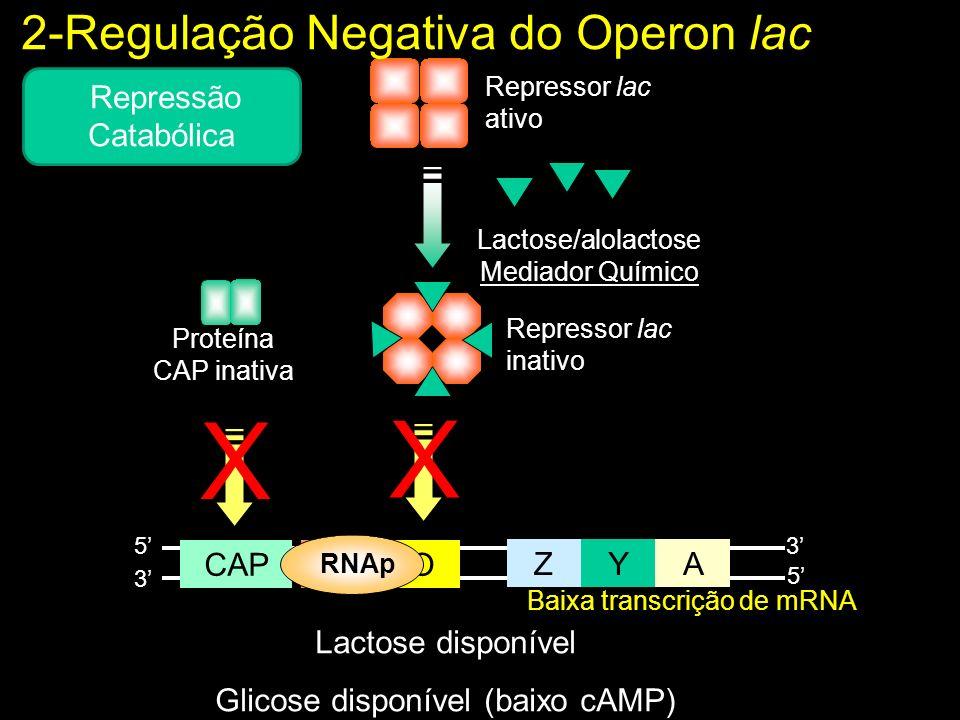 Lactose disponível Glicose disponível (baixo cAMP) ZYA POCAP 5 5 3 3 Repressor lac ativo Proteína CAP inativa Baixa transcrição de mRNA X X RNAp Lactose/alolactose Mediador Químico Repressor lac inativo 2-Regulação Negativa do Operon lac Repressão Catabólica