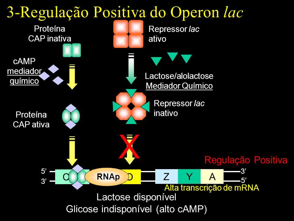 Lactose disponível Glicose indisponível (alto cAMP) ZYA POCAP 5 5 3 3 Repressor lac ativo Proteína CAP inativa Lactose/alolactose Mediador Químico X Repressor lac inativo Regulação Positiva Proteína CAP ativa RNAp Alta transcrição de mRNA cAMP mediador químico 3-Regulação Positiva do Operon lac