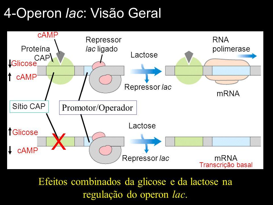 Efeitos combinados da glicose e da lactose na regulação do operon lac. 4-Operon lac: Visão Geral Glicose cAMP Proteína CAP Sítio CAP Promotor/Operador
