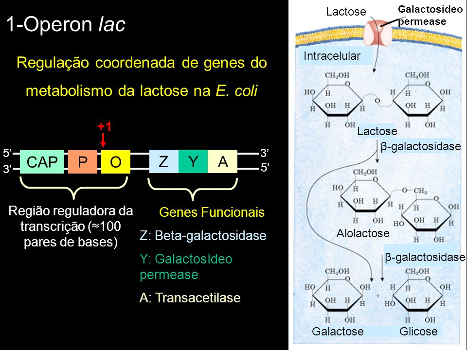 1-Operon lac Regulação coordenada de genes do metabolismo da lactose na E. coli Galactosídeo permease Lactose β-galactosidase Alolactose GalactoseGlic