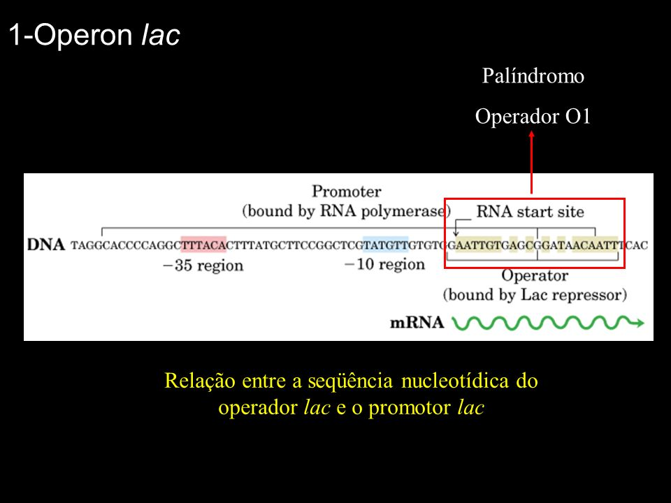 Relação entre a seqüência nucleotídica do operador lac e o promotor lac Palíndromo Operador O1 1-Operon lac