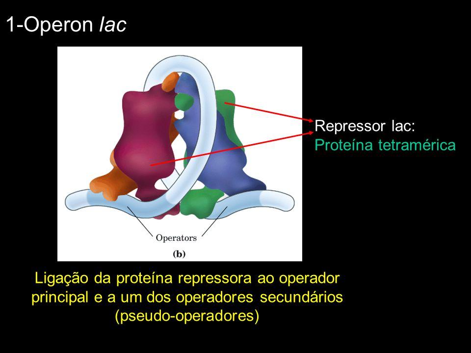 Ligação da proteína repressora ao operador principal e a um dos operadores secundários (pseudo-operadores) Repressor lac: Proteína tetramérica 1-Opero