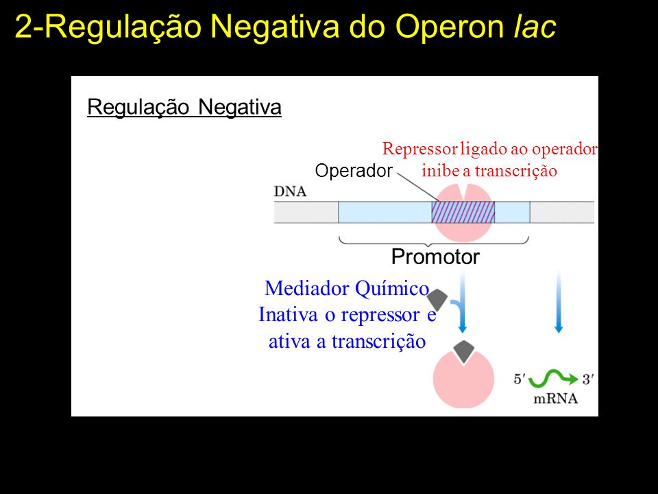 2-Regulação Negativa do Operon lac Operador Repressor ligado ao operador inibe a transcrição Promotor Mediador Químico Inativa o repressor e ativa a transcrição Regulação Negativa