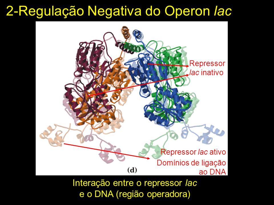 Interação entre o repressor lac e o DNA (região operadora) Repressor lac inativo Repressor lac ativo Domínios de ligação ao DNA