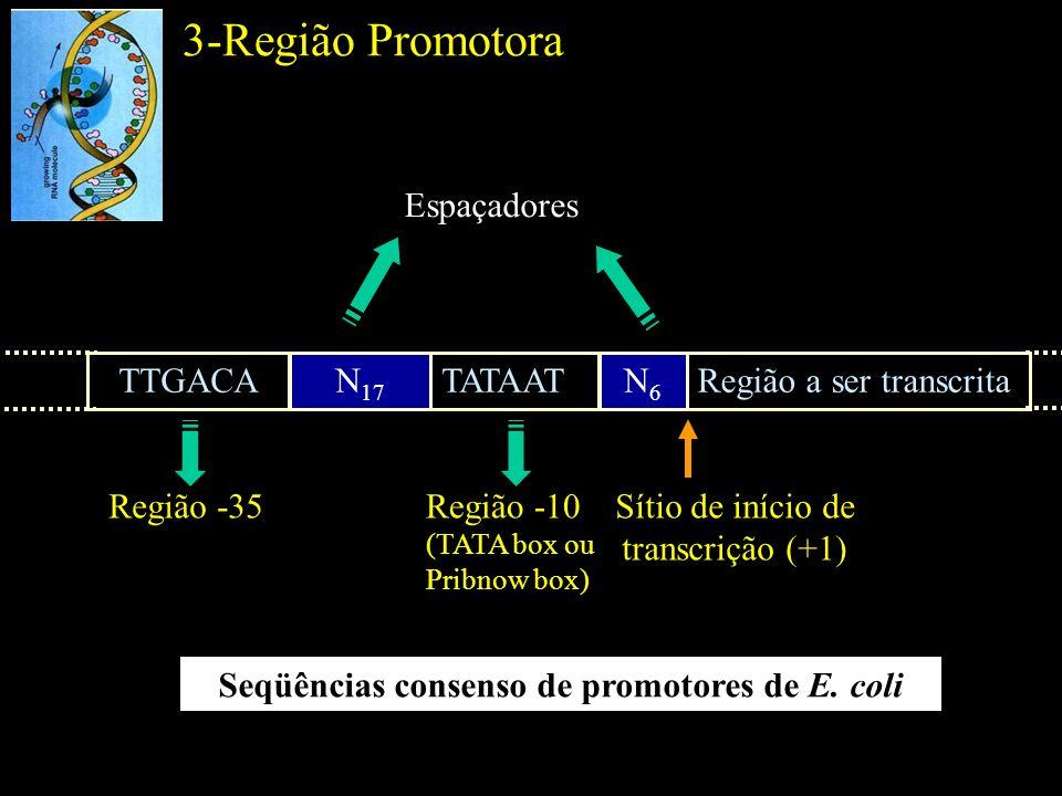 3-Região Promotora Eficiência da ligação da RNA polimerase ao promotor –Seqüência nucleotídica do promotor –Espaçamento entre as regiões consenso –Distância entre as regiões consenso e o sítio de início de transcrição