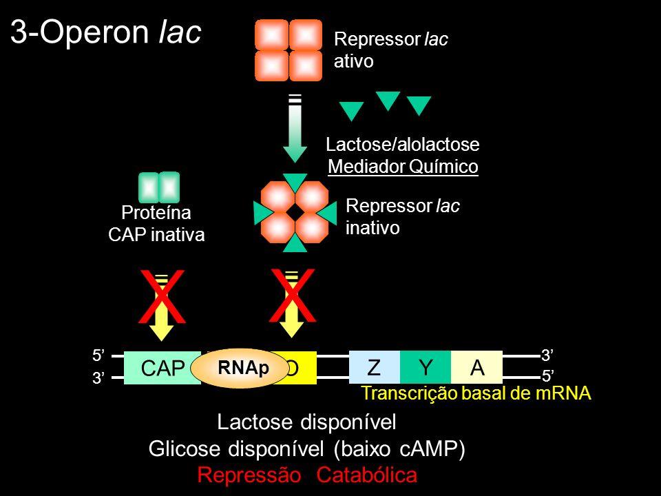 3-Operon lac Lactose disponível Glicose disponível (baixo cAMP) Repressão Catabólica ZYA POCAP 5 5 3 3 Repressor lac ativo RNAp Transcrição basal de m
