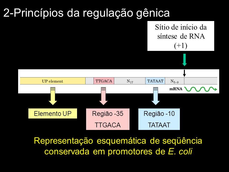 Fatores que influenciam a taxa de transcrição: Afinidade do promotor pela enzima Proteínas reguladoras: –Repressores: se ligam ao DNA em regiões denominadas operadores –Ativadores: se ligam ao DNA em regiões adjacentes a um promotor (Ex.: elemento UP) Sinais moleculares/Mediadores químicos (Ex.: cAMP) –Modulam a atividade das proteínas reguladoras 2-Princípios da regulação gênica