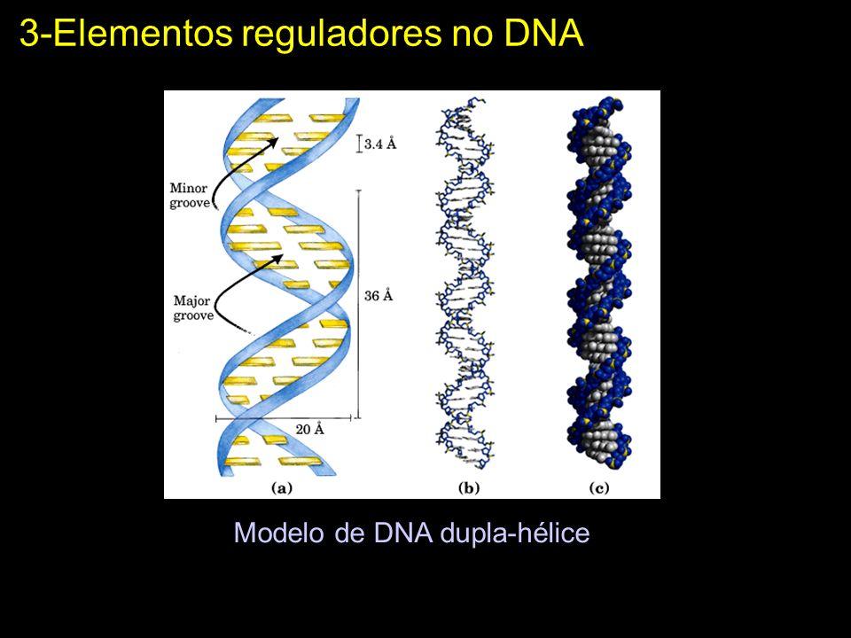 3-Elementos reguladores no DNA Modelo de DNA dupla-hélice