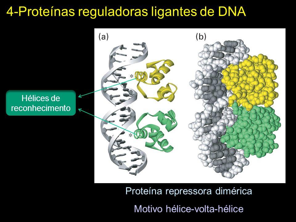 Proteína repressora dimérica Motivo hélice-volta-hélice 4-Proteínas reguladoras ligantes de DNA Hélices de reconhecimento
