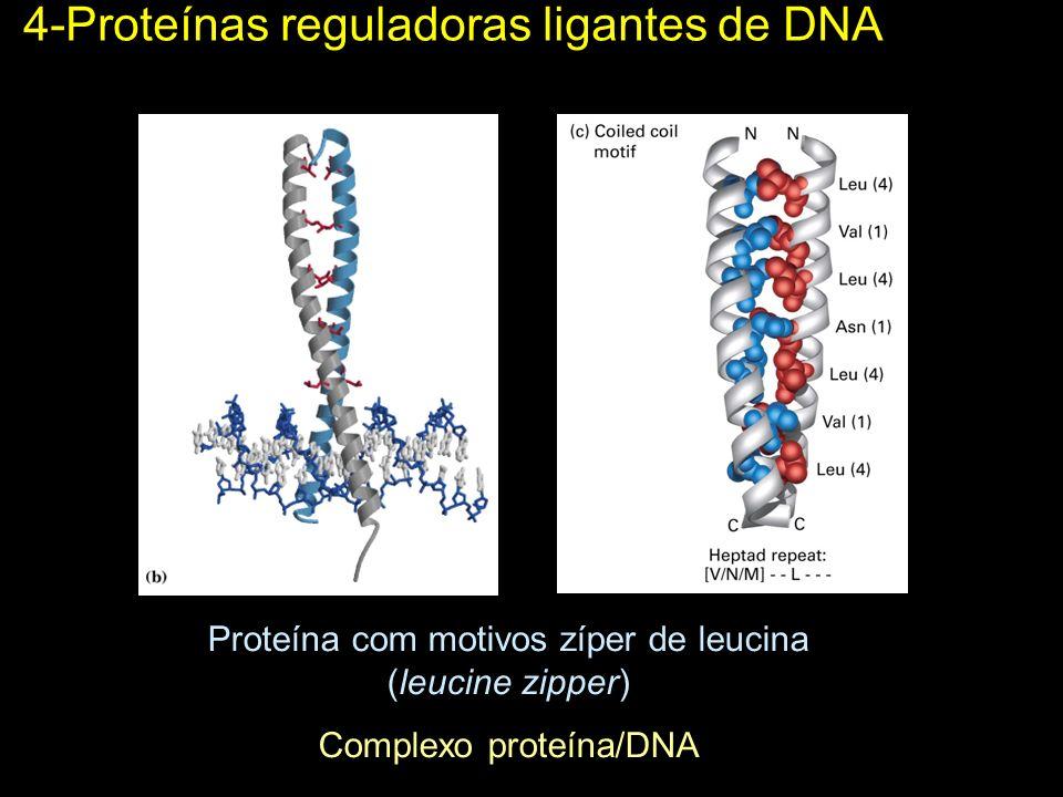 4-Proteínas reguladoras ligantes de DNA Proteína com motivos zíper de leucina (leucine zipper) Complexo proteína/DNA