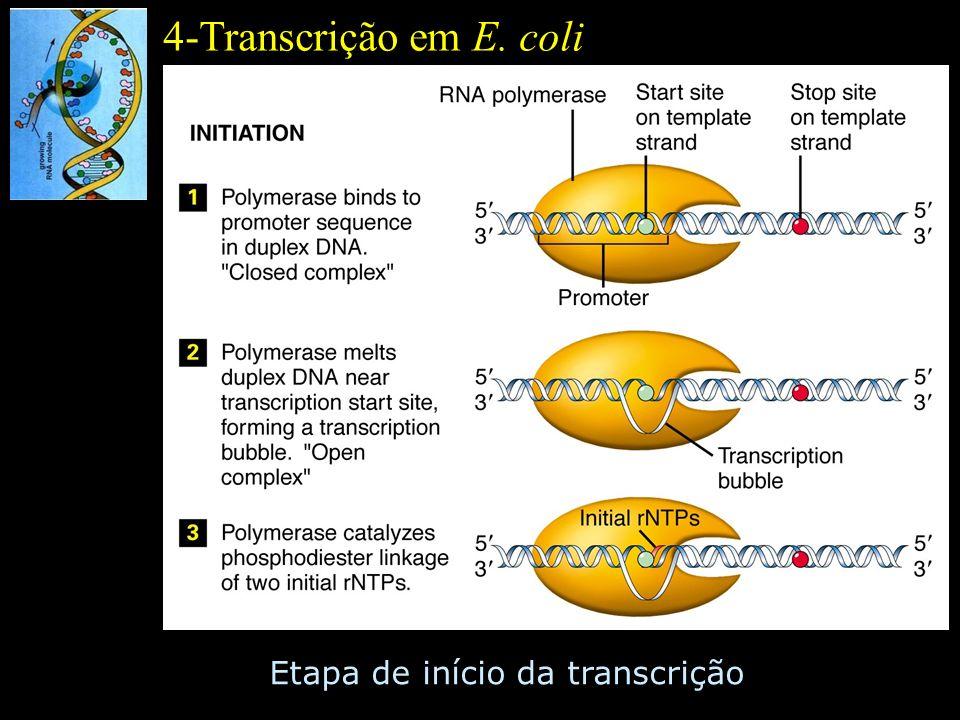 4-Transcrição em E. coli Etapa de início da transcrição