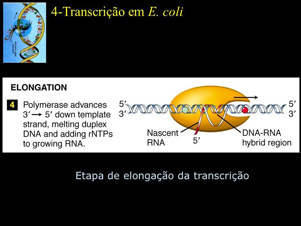4-Transcrição em E. coli Etapa de elongação da transcrição