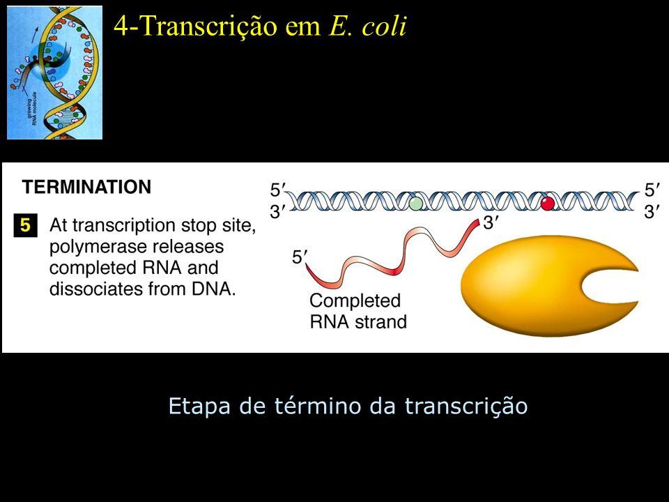 4-Transcrição em E. coli Etapa de término da transcrição