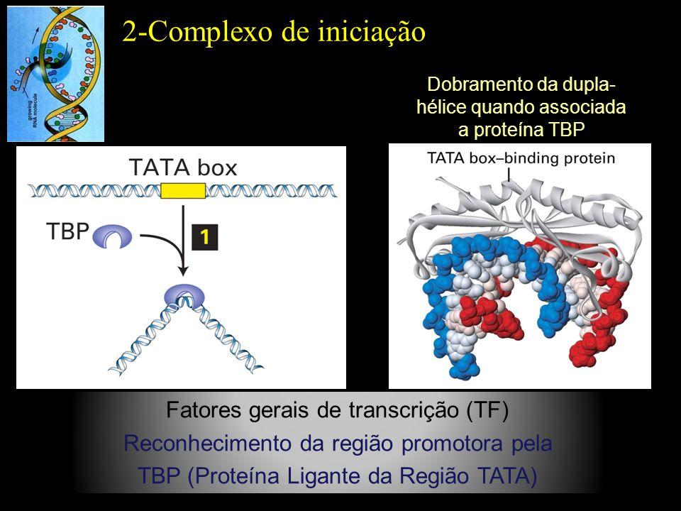 Fatores gerais de transcrição (TF) Reconhecimento da região promotora pela TBP (Proteína Ligante da Região TATA) 2-Complexo de iniciação Dobramento da