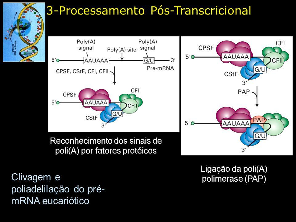 3-Processamento Pós-Transcricional Clivagem e poliadelilação do pré- mRNA eucariótico Reconhecimento dos sinais de poli(A) por fatores protéicos Ligaç