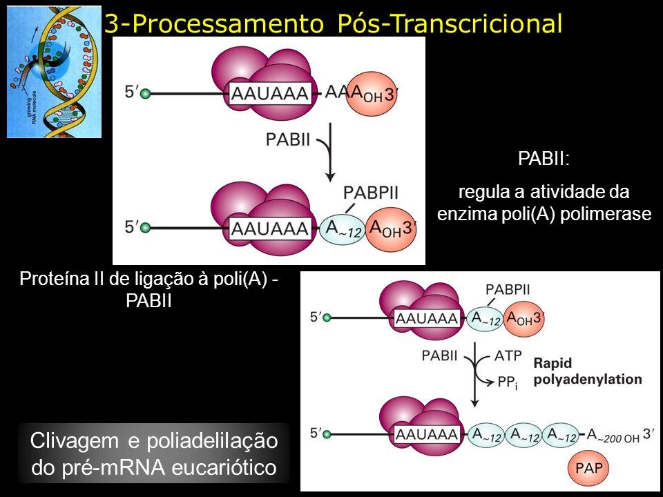 3-Processamento Pós-Transcricional Proteína II de ligação à poli(A) - PABII PABII: regula a atividade da enzima poli(A) polimerase Clivagem e poliadel