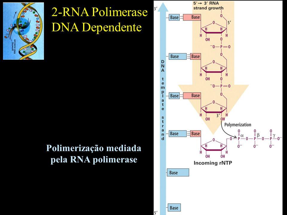 2-RNA Polimerase DNA Dependente Polimerização mediada pela RNA polimerase
