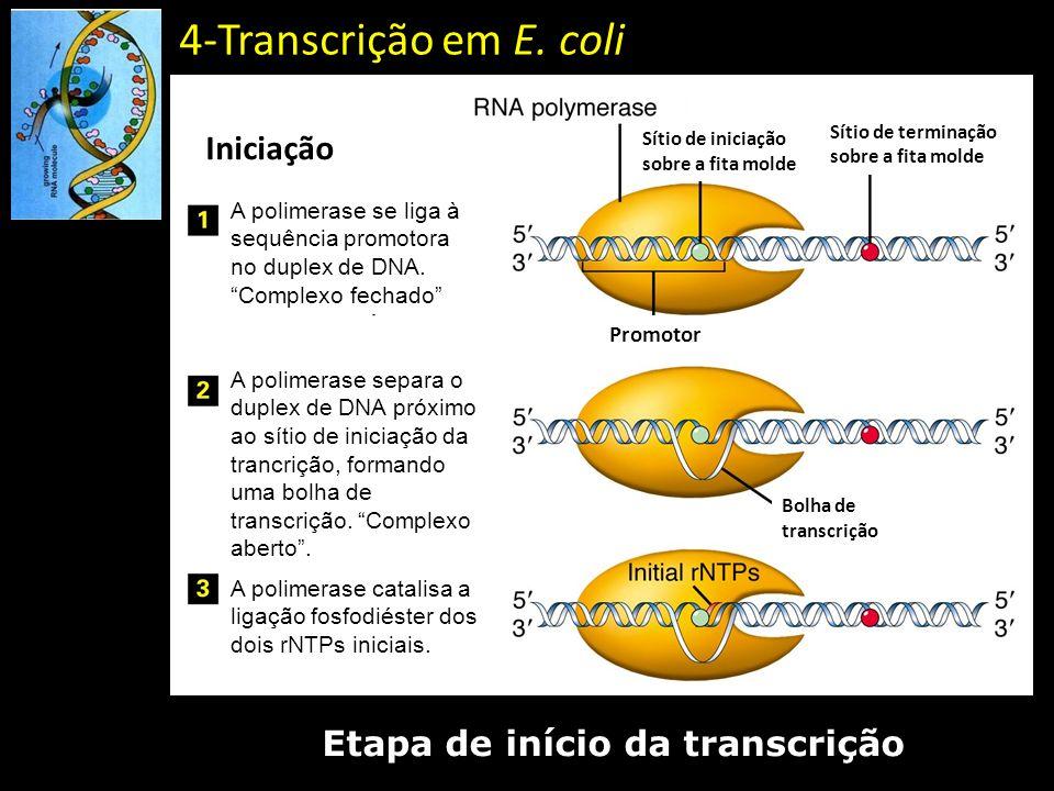 4-Transcrição em E. coli Etapa de início da transcrição A polimerase se liga à sequência promotora no duplex de DNA. Complexo fechado A polimerase sep