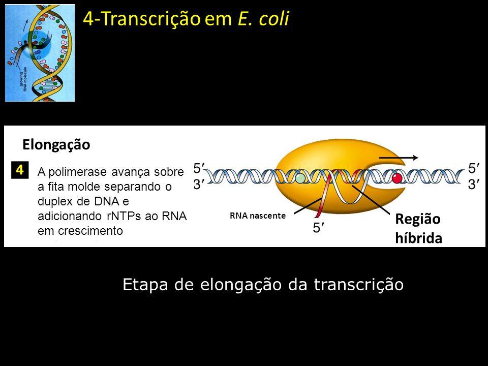 4-Transcrição em E. coli Etapa de elongação da transcrição Elongação A polimerase avança sobre a fita molde separando o duplex de DNA e adicionando rN