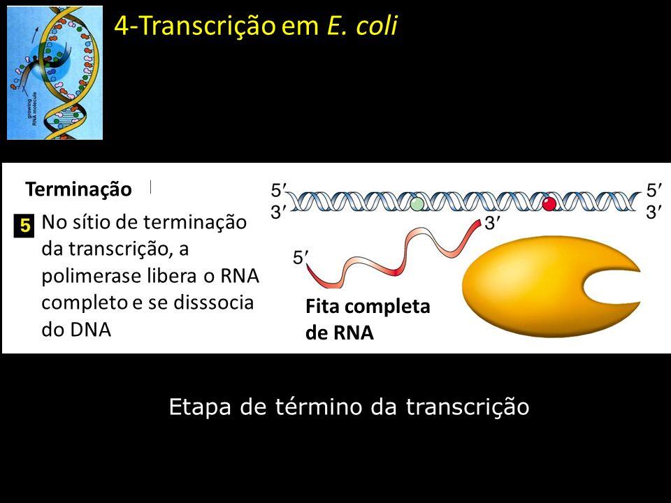 4-Transcrição em E. coli Etapa de término da transcrição Terminação No sítio de terminação da transcrição, a polimerase libera o RNA completo e se dis