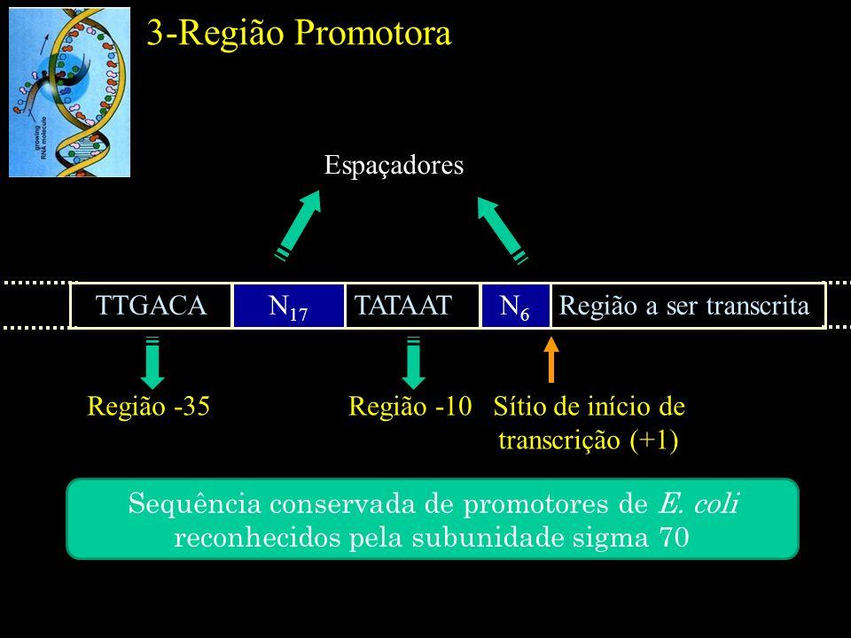 3-Região Promotora Região -35 TTGACAN 17 TATAATN6N6 Região a ser transcrita Região -10 Espaçadores Sítio de início de transcrição (+1) Sequência conse