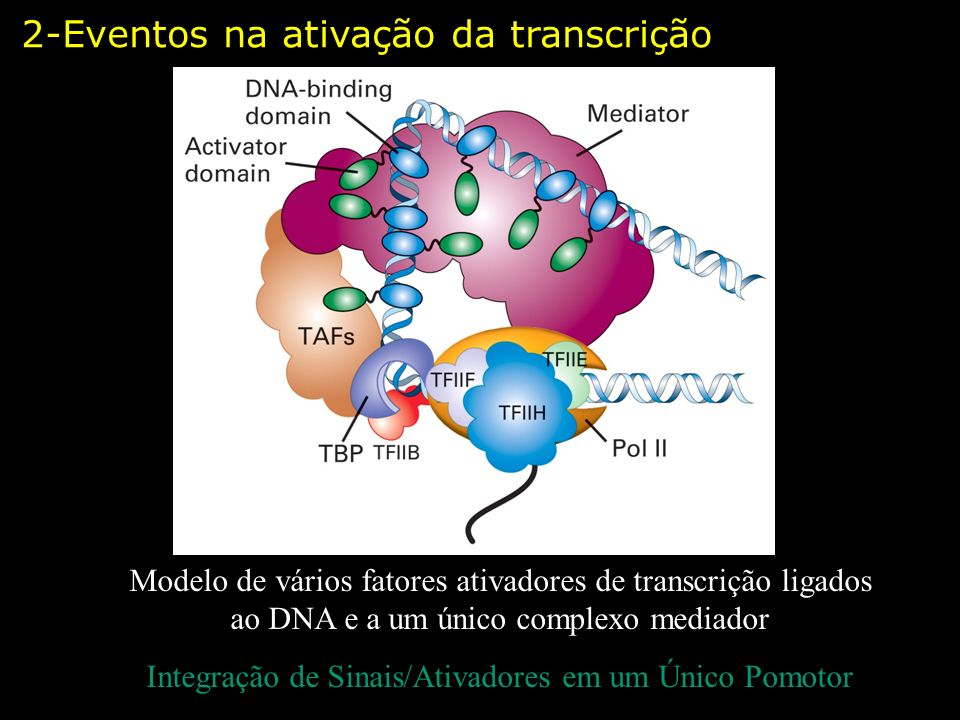 Modelo de vários fatores ativadores de transcrição ligados ao DNA e a um único complexo mediador Integração de Sinais/Ativadores em um Único Pomotor 2